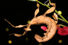 Mackleys Spectre Stick Insect Stock Images