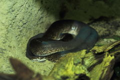 Macklot python Στοκ Φωτογραφίες