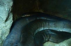 Macklot-Pythonschlange stockbild