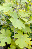 Macleaya heart-shaped (Macleaya cordata (Willd.) R.Br.), leaf cl. Ose up. Botanical garden Royalty Free Stock Photo