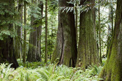 Free MacMillan Provincial Park Cathedral Grove Vancouver Island Stock Photography - 84236122