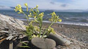 Maco amarillo del flowe Imagen de archivo libre de regalías