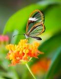 Maco av en glasswinged fjäril på en blomma arkivfoto