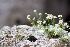 Maco blooming flowers on rock Royalty Free Stock Images