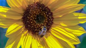 Sunflower with a honey bee royalty free stock photo
