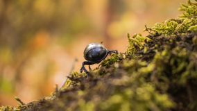 Small beetle running away from the camera. Macor of a small beetle running away from the camera Stock Photography