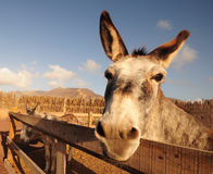 Macorero's donkey Stock Photos