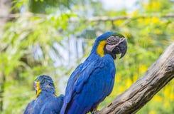 Macorevogel op boom stock foto's