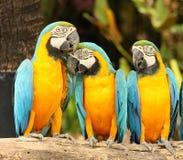 Macow Lizenzfreies Stockfoto