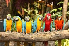 Macow-brid Lizenzfreies Stockbild