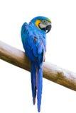 Macow fågel royaltyfria foton