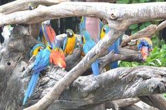 Macow-Papagei Lizenzfreie Stockfotos