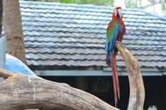 Macow papegoja Arkivfoton