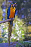 Macow Parrot. Gold & Blue Macow Parrot on the tree Stock Photography