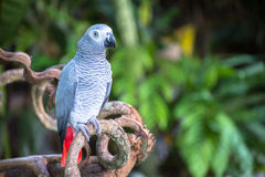 Macow parrot Royalty Free Stock Image