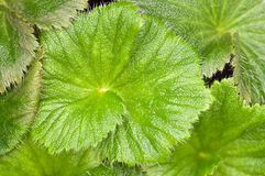 Macquarie Island Cabbage leaves Stock Photo