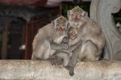 Macque ape monkey inside bali induist temple Stock Photos