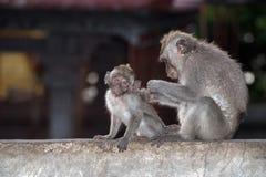 Macque ape monkey inside bali induist temple Royalty Free Stock Photos