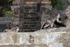Macque ape monkey inside bali induist temple Royalty Free Stock Photo