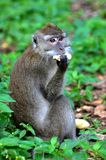 Macque sat in the Greenery to Eat Royalty Free Stock Photo