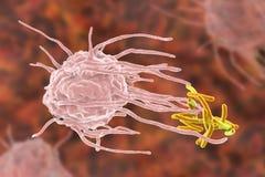 Macrófago que traga as bactérias da tuberculose Fotos de Stock Royalty Free