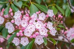 Macr of Mountain Laurel flowers. Stock Photo