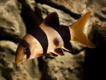 Macracantha di botia dei pesci del loach del pagliaccio Fotografia Stock