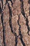 Macro écorce de pin de Ponderosa Image libre de droits