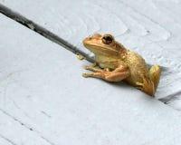 Macro étroit d'une grenouille d'arbre cubaine photos stock