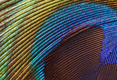 Macro 1 de la pluma del pavo real Imágenes de archivo libres de regalías