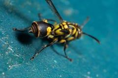 Macro abdomen de photo et Stinger de guêpe sur le plancher de turquoise images stock