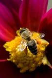 Macro abeille Photographie stock libre de droits