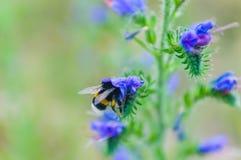 Macro abeille Photos libres de droits