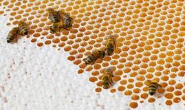 Macro; abeja en la miel Fotos de archivo libres de regalías