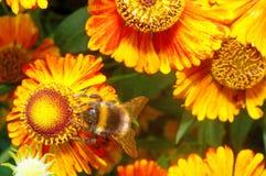 Macro - abejorro en un Helenium anaranjado brillante de la flor Foto de archivo libre de regalías