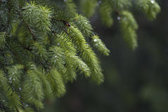 Macro of Abies Stock Photography
