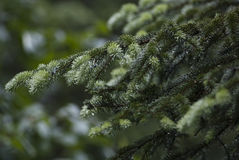 Macro of Abies stock image