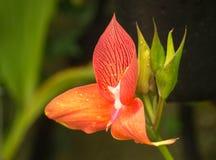 Macro/abrégé sur oranges/rouges de fleur Image libre de droits