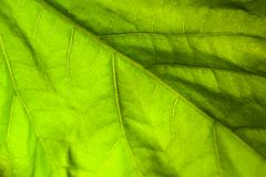 Macro abstract background of bright green leaf with veins. Beautiful macro abstract background of bright green leaf with veins Stock Photo