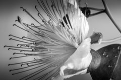 Macro abstract shot of flower stamens. Black and white foto. Stock Photography
