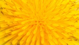 Macro of abstract yellow flower, closeup sow-thistle Royalty Free Stock Photography