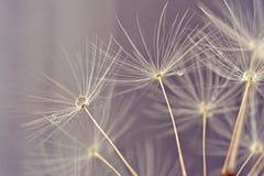 Macro abstracta de las semillas del danelion imagen de archivo