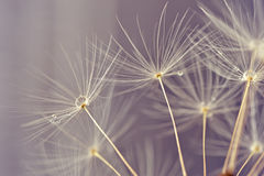 Macro abstrato de sementes do danelion Imagem de Stock