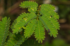 Macro Acacia leaf Royalty Free Stock Image