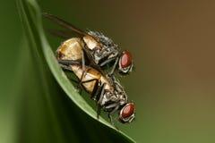 Macro accoppiamento della mosca Fotografie Stock Libere da Diritti