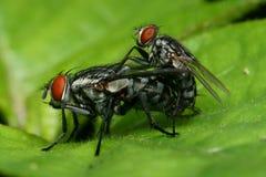 Macro accoppiamento della mosca Immagini Stock