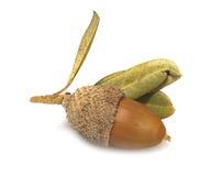 Macro acorn on white background Royalty Free Stock Image