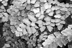 Macro of adiantum fern in black and white Stock Photo