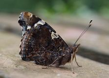 Macro of a beautiful admiral butterfly royalty free stock photos