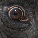 Macro of an African elephant's eye Stock Photo